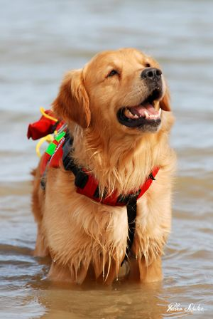 Golden,Retriever